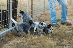 YES they have their tails. This is the true sign of a great Herd dog