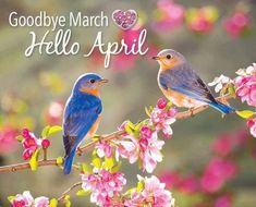 Merlebleu de l'Est // Rotkehl-Hüttensänger // Eastern Bluebird (Sialia Sialis) Pretty Birds, Love Birds, Beautiful Birds, Small Birds, Beautiful Couple, Simply Beautiful, Animals Beautiful, Beautiful Pictures, Spring Birds