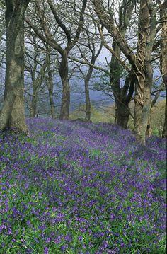 Bluebells near Machynlleth... Llancynfelyn, Wales, United Kingdom.