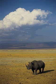 Black rhino, Ngorongoro Crater