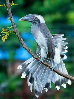 Could this be a horn hornbill