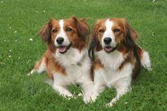 Beautiful Kooikerhondje dogs