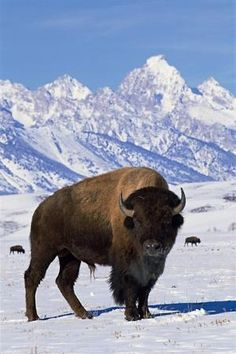 Bison are an iconic symbol of the west usa.