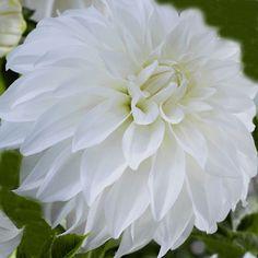 Dahlia 'Lady Liberty' - Rose Cottage Plants