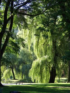 """Boston Common is a central public park in Boston, Massachusetts. It is sometimes erroneously referred to as the """"Boston Commons"""". Dating from 1634, it is the oldest city park in the United States."""
