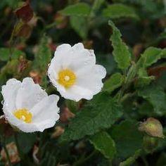 Cistus hybridus - White Rockrose - Drought tolerant
