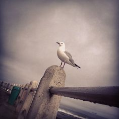 The sexy seagull