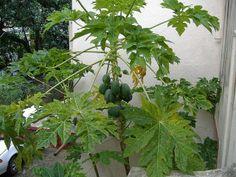 PapayaGrowing Papaya Indoors