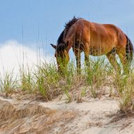 The wild horses on the beaches of the Outer Banks. Families and kids love to watch them graze.