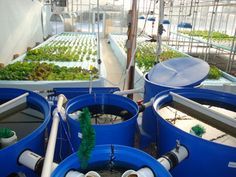 Commercial Aquaponics System Commercial-500-filtration, raft tanks and NFT.jpg
