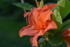 Atsalea   Vesan viherpiperryskuvat – puutarha kukkii