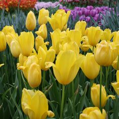 Big Smile Single Late Tulip will put a very big smile in your spring garden with it's tall, glowing yellow blooms! Single late or Mayflowering tulips are some of the tallest tulips and oval egg shaped flowers are the last to bloom. They are good cut. Planting Bulbs, Planting Flowers, Tree Identification, Tulip Bulbs, Fall Plants, Egg Shape, Spring Garden, Cut Flowers