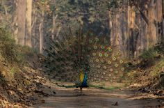 The Peafowl | Flickr - Photo Sharing!