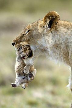 Lioness w/cub