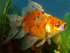 Fantail goldfish are available in several scale colour, but the metallic is the hardiest and most competitive show type. Other scale include speckled or nacreous and matt. Goldfish Species, Goldfish Types, Home Aquarium, Aquarium Fish, Fantail Goldfish, Royal Beauty, Types Of Gold, Fish Patterns, Ponds Backyard