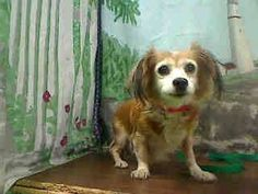 ★★AT RISK FOR EUTHANASIA★★ PER SHELTER, NEEDS AN ADOPTER OR RESCUE COMMITMENT BY NOV 29TH  #A442890 MORENO VALLEY, CA female, brown and white Papillon mix. The shelter thinks I am about 13 years old. I have been at the shelter since Nov 17, 2014 and I may be available for adoption on Nov 24, 2014  https://www.facebook.com/135559229932205/photos/a.382565775231548.1073741961.135559229932205/386065684881557/?type=3&theater