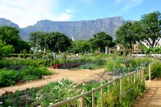 The Company's Garden is the oldest garden in Cape Town Cape Town South Africa, Table Mountain, Lush Garden, Most Beautiful Cities, Cool Photos, Interesting Photos, Beautiful Gardens, Trip Advisor, Places To Go