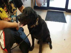 12/5/17 GARLAND, TX THERE'S TWO‼️ ID# A207180 & 81. We are neutered male, black and white Labrador Retriever mix about 8 years old. ID# A207180 and ID# A207181 Neutered male, black Labrador Retriever mix's