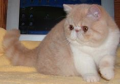 Ladiluck Exotic Shorthairs My Cats