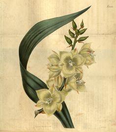 Yucca Flower Tattoo