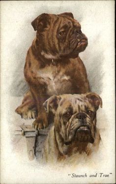 Beautiful Bulldogs Bull Dogs 'Staunch & True' c1910 Postcard