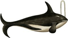 Antique Killer Whale Image Great for a pillow