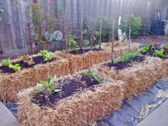 Growing vegetables in straw bales. Decomposed straw can be used for compost pile after harvesting vegetables.