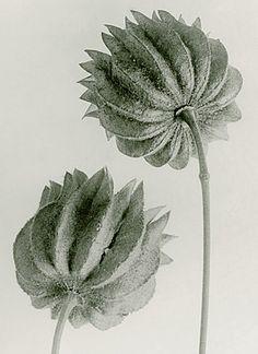 mallow family seed capsules karl blossfeldt