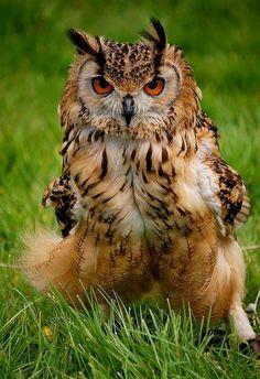 Eagle Owl (by Bawmer).