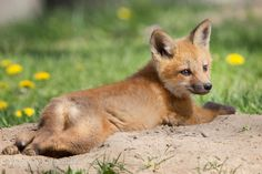 Just can't cope...too cute to be true 365 days fox marathon Day 227 #365daysfoxmarathon #photography #cute