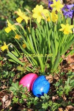 Two easter-eggs in front of a yellow daffodil   - This picture is available without watermark on stock agencies. Please follow the link(s): https://www.shutterstock.com/de/image-photo/two-eastereggs-front-yellow-daffodil-608731082 https://de.fotolia.com/id/142263872
