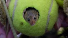Mouse in a ball house