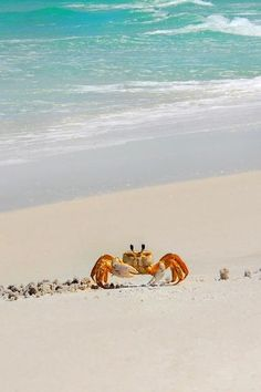 Sand crab. For more BEACH life FOLLOW https://www.pinterest.com/happygolicky/beach-beach-beach-off-to-the-coastal-chic-cottage-/ now