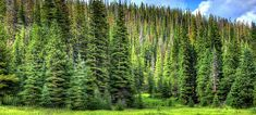 Conifer Tree ID Videos - Extension Planting Flowers, Flowering Plants, Conifer Trees, Ecology, Vineyard, Colorado, Environment, Fire, World