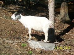 Did you know that worms kill more goats every year than anything else? You can use the 1.87 % Ivermectin paste for horses. Give this at the dose of 3 times the horse amount. Example 100 lb goat gets 300 lb. click. Will you hurt the goat if you go over this dose amount? No, it's always best to go over than to under worm.