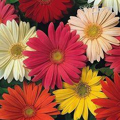 (25 seeds) Gerbera Jamesonii California Giants Mix / Gerb... https://www.amazon.com/dp/B06X9DZNJS/ref=cm_sw_r_pi_dp_x_WGI-ybTYW662C