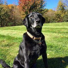 Handsome Lazer. #dog #dogs #katanddog #lab #labrador #labradorretriever #retriever #blacklab