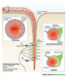 Neurovascular regulation in the normal brain and in Alzheimers disease