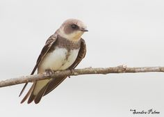 sand martin birds | Sand Martin - bird photos by Sandra Palme