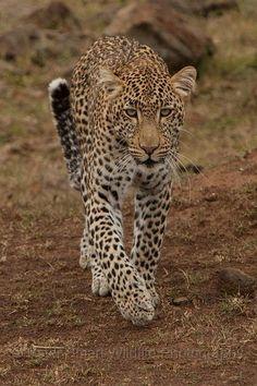 African Leopard, Maasai Mara National Reserve, Kenya