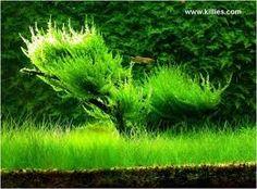 Java moss tree for betta fish.