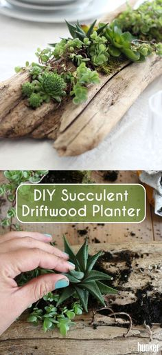 A driftwood succulent planter brings a rustic elegance to your dinner or coffee table, regardless of how formal or casual the setting is. This DIY sho Indoor Succulent Planter, Succulent Display, Succulent Gardening, Succulent Arrangements, Planting Succulents, Container Gardening, Succulent Terrarium Diy, Indoor Succulents, Succulent Ideas