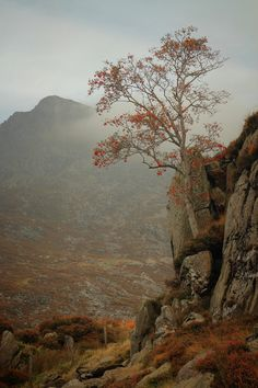 Around Llyn Idwal were these impressive Mountain Ash trees with their leaves all gone but leaving the vivid red berries. Had to put the tree in context so behind you have the peak of Pen yr Ole Wen. Mountain Ash Tree, Red Berries, Wales, Grand Canyon, Travel, Beautiful, Art, Art Background, Viajes