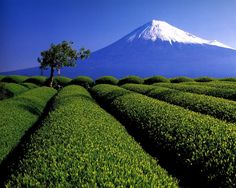 fuji and tea garden again. Japanese Green Tea Matcha, Mount Fuji Japan, Sencha Green Tea, Fuji Mountain, Japanese Nature, Mont Fuji, Japan Landscape, Shizuoka, Tokyo