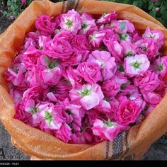 569 Likes, 14 Comments - Flowers & plants beautiful (@mohammadplant_samadpoor) on Instagram