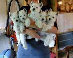 You just can't have too many Westies...they are like little people.