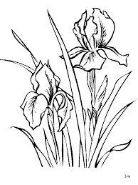 Αποτέλεσμα εικόνας για fiori iris foto