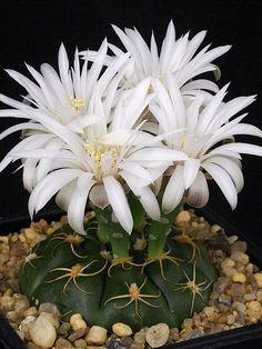 Gymnocalycium denudatum – Spider Cactus - See more at: http://worldofsucculents.com/gymnocalycium-denudatum-spider-cactus/