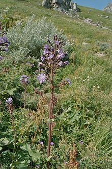 Roc de Cuzeau vu Capucin - Flore du Massif central — Wikipédia