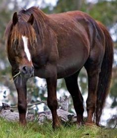 Australian Brumby horse